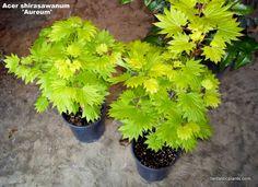 "Fantastic Plants: Acer shirasawanum 'Aureum'<BR><B>Golden Full Moon Maple . . . 18"""