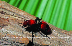 """Female velvet ants have a very potent sting that has earned them the nickname """"cow-killer."""" Male velvet ants lack a stinger but have wings."""