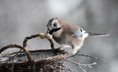 Aw, at first I thought it has found a perfect nest but no the basket is providing shelled nuts, how cute!