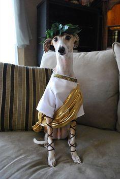 da vinci, our italian greyhound, as julius caesar karmajupiter
