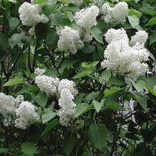Image result for syringa mme lemoine Small Trees For Garden, Garden Trees, Small Gardens, Syringa, Herbs, Plants, Image, Beautiful, Small Garden Trees