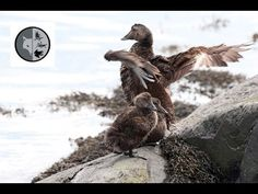 Common Eider - Mothers and babies Mother And Baby, Bald Eagle, Filmmaking, Behavior, Mothers, Wildlife, Films, Babies, Facebook