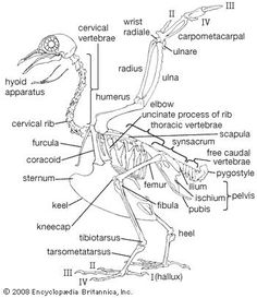 A skeletal system of a bird. After last week's lab, I figured this would come in handy.
