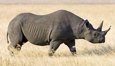 black rhino, national animal of Lesotho