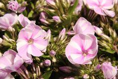 Mooie zoom foto van een Phlox. #bloem