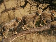 Cheetah Cubs at Phinda Game Reserve by Dumith Fernando !!