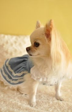 Not a big fan of long haired chihuahuas, but this little girl is cute, cute…