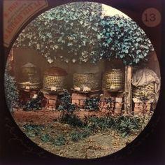 Magic-Lantern-Slide-Rare-Beekeeping-Beekeeper-Apiary-Apiarist-Apiculture-Bees