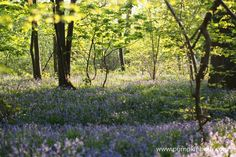 Wonderful Places To See Bluebells in Surrey, Hampshire and Sussex - Pumpkin Beth Beautiful Places To Visit, Wonderful Places, Places To See, English Bluebells, Surrey, Hampshire, Blue Flowers, Garden Design, Wildlife