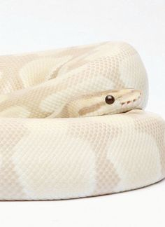 Lavender Ball Python. Ball pythons are usually cute, and then to top it off the color of this one is soooo cuteeee