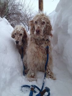 Big Dogs, Small Dogs, Cute Dogs, Baby Puppies, Dogs And Puppies, Doggies, Beautiful Dogs, Animals Beautiful, English Setter Puppies