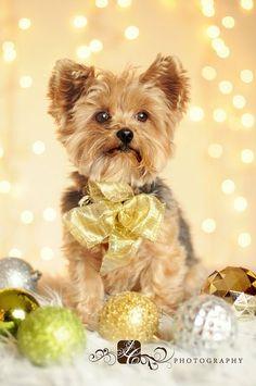 Christmas Yorkie ❤️