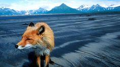 Grizzly man HERZOG Werner 2005 Pendant quinze ans, sans aucune arme, Timothy Treadwell a vécu régulièrement au milieu des redoutables grizzlys sauvages d'Alaska. Les cinq dernières années, il a même filmé tout ce qu'il vivait, réunissant ainsi des images exceptionnelles. En octobre 2003, il a été retrouvé avec sa compagne, à demi dévoré par ceux qu'il avait juré de protéger. Le célèbre cinéaste Werner Herzog se penche sur les mystères de cette incroyable aventure...