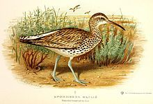 Slender-billed Curlew (Numenius tenuirostris)  found in the taiga of Siberia, Russia, Mediterranean, Western Europe, the Canary Islands, the Azores, Oman, Canada and Japan and became extinct in 1998.