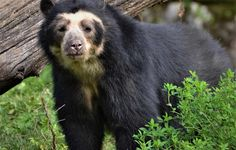 Spectacled Bear, Black Bear, Animals And Pets, Nature, Cute, Bears, Branding, Google, Animales