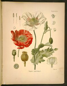 Opium poppy (Papaver somniferum, Papaveraceae) from Köhler's Medizinal-Pflanzen (1887). Source and copyright: Missouri Botanical Garden (available for fair use).