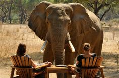 Chiawa Safaris comprises four gorgeous safari camps in Zambia's prime National Parks, namely Chiawa Camp & Old Mondoro in the Lower Zambezi, and Chichele Presidential Lodge & Puku Ridge Camp in the South Luangwa. Wild Elephant, Elephant Love, Elephant Stuff, Elephant Walk, Elephas Maximus, Bush, Livingstone, Out Of Africa, Gentle Giant