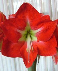 Amaryllis Monaco - Royal Dutch Single Amaryllis - Amaryllis - Flower Bulb Index
