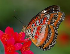 Red Lacewing Butterfly, Fairchild Tropical Botanic Garden - Flickr - Photo Sharing!