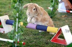 bunny show jumping
