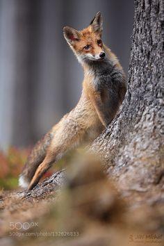 Fox - Pinned by Mak Khalaf See my website: www.jmichal.cz info about photo: 1url.cz/zxMq Animals animalforestfoxnaturalwildwww.jmichal.cz by JiMchal