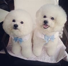Couple Bichon Frise,looks like poodles to me.