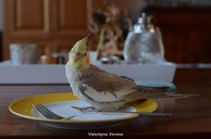 Cockatiel Ravi, 13 week old cinnamon male. Sitting on my plate and looking guilty after eating the cheese I had left. Ravi loves cheese. Valkparkiet