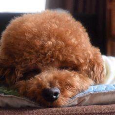 おやすみ🌙💤 #犬 #dog #강아지 #pet #プードル #poodle #toypoodle #instapoodle  #トイプードル #토이푸들 #instadog #lovedogs  #dogstagram #cutedog #instagram  #犬バカ部 #愛犬 #癒しわんこ #犬のいる暮らし #わんこ #ふわもこ部  #Nikon #一眼レフ #カメラ女子  #ファインダー越しの私の世界 #おにぎりhair #ハンドメイド犬服 #ワンコなしでは生きていけません会