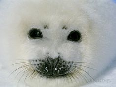 The Face of a Baby Harp Seal in the Fat Whitecoat Stage Photographic Print