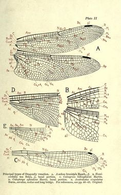 Principal types of Dragonfly venation. 1917.