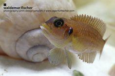 Lamprologus ocellatus, Tanganjika-Schneckenbuntbarsch, Buntbarsch, Tanganjikasee, Ostafrika