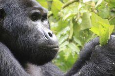 Mountain Gorilla  Bwindi Impenetrable National Park, Uganda