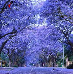 Blue Jacaranda Tree Seeds(Jacaranda mimosifolia)showy street tree drought tolerant Rare outdoor bonsai plant tree seeds20pcs/bag