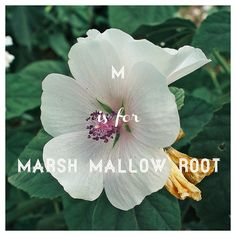 M is for Marsh Mallow Root. It helps with congestion & soothing sore throats, control blood sugar, & treat UTIs and stomach ulcers. And yes, marshmallows (the campfire kind) will help soothe your sore throat! :)