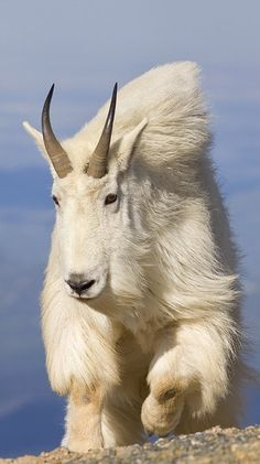 Cabra de montanha. Mountain Goat :)