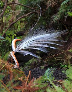 This is the superb lyre bird dancing and singing on a mound he clears in the undergrowth. he does this to let all know that this is his territory and he is the dominant male .this shot is the accumulation of many hours . Yarra Ranges,