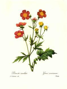 VINTAGE REDOUTE Scarlet Flowered Avens Illustration Antique