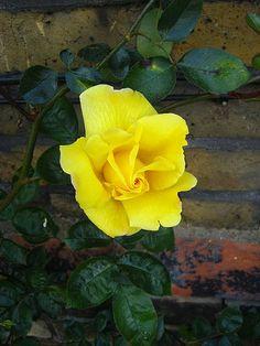 Golden Showers Climbing Rose