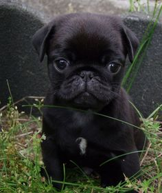 "Cute Black Pug Puppy From your friends at phoenix dog in home dog training""k9katelynn"" see more about Scottsdale dog training at k9katelynn.com! Pinterest with over 18,000 followers! Google plus with over 119,000 views! You tube with over 350 videos and 50,000 views!! Twitter 2200 plus;)"