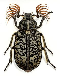 Fuller Beetle, also by Bernard Durin,