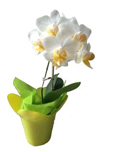 Mini Orquidea Phalaenopsis de 24 Cm