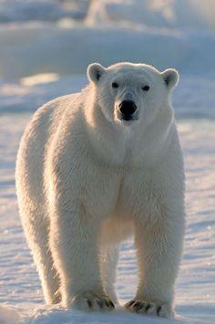 ours polaire marchant sur la glace