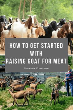 Do you want to raise goats, but you don't know how? Here are some easy and efficient ways to begin raising goat for meat.