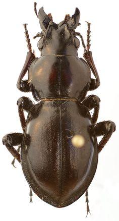 Calosoma (Callisthenes) mirificus Casale, 1979