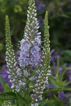 Veronica longifolia 'Martje' Violet Garden, Pink Garden, Veronica, Beautiful Gardens, Beautiful Flowers, Blue And Purple Flowers, Border Plants, Garden Trees, Sugar Flowers