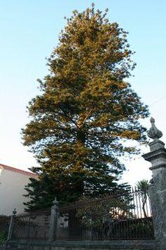 Araucária - Local: Rua 5 de Outubro _ Vila Praia de Âncora - Viana do Castelo