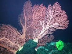 Deep-water corals on the crest of Davidson Seamount grow to over two .