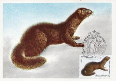 Dark brown mink. Fauna of the USSR. Fur-Bearing Animals. Artist V. Kolganov.  Printed in the USSR, Ministry of Communications USSR, Moscow,1980