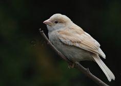 Leuc-Sparrow.jpg (900×643)
