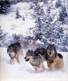 Beautiful pack of wolves...